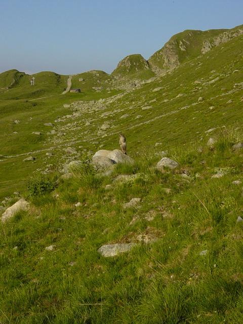 Walliser Kampfmurmeltiere